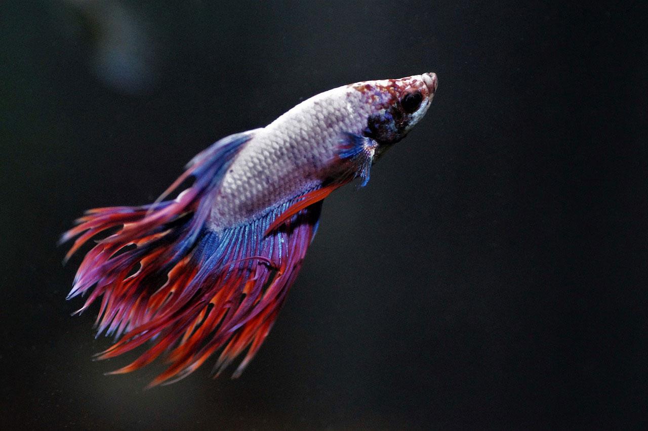betta aquarium fish purple and red