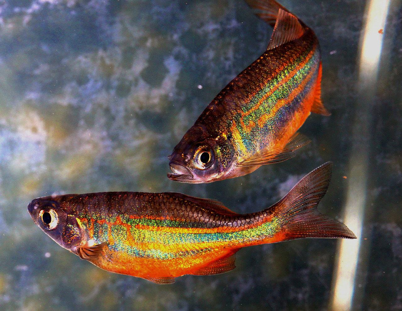pair of danio aquarium fish
