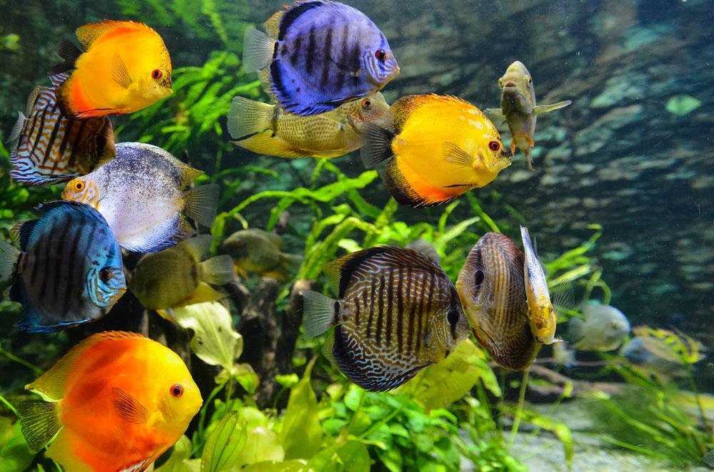 Aquarium plants and discus fish