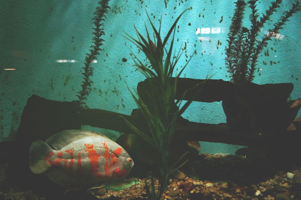 aquarium problems algae forming on the glass wall