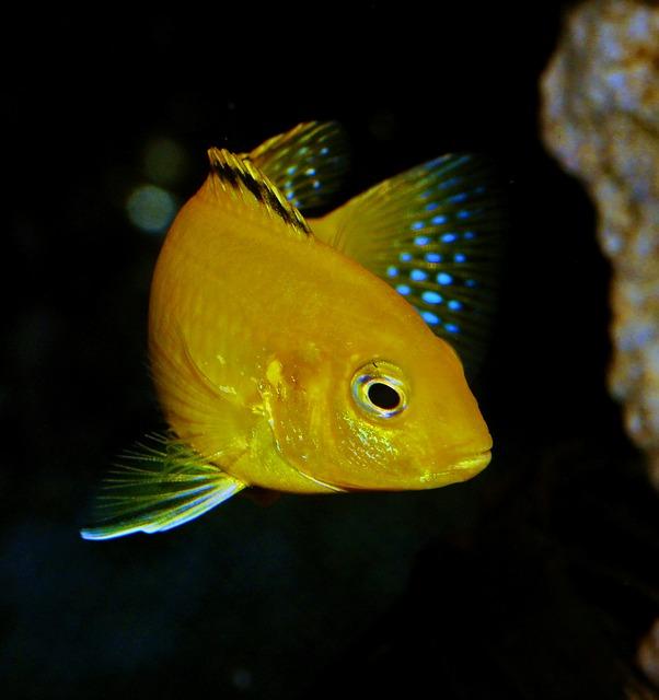 Lake Malawi Cichlids - Most Famous Fish Species for Aquariums