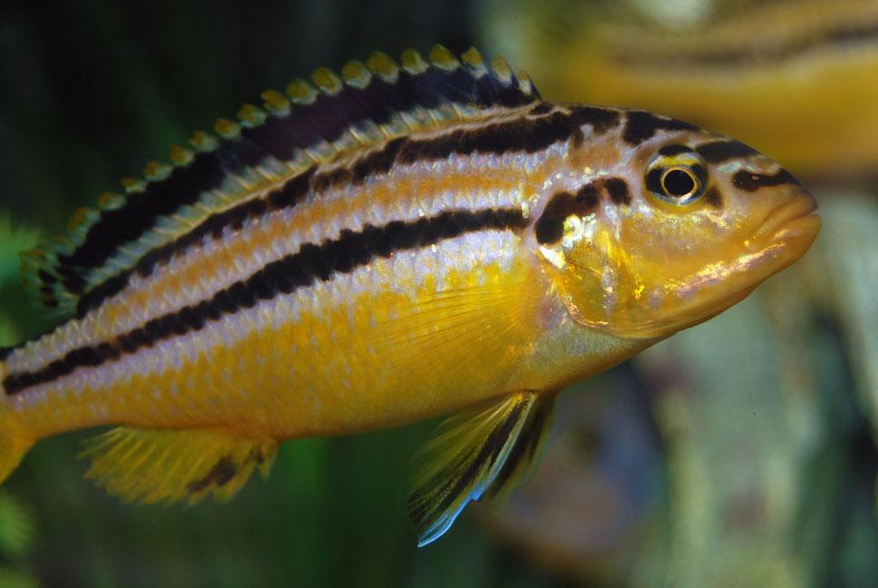 mbuna fish