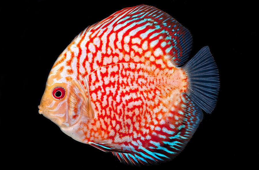 discus fish 2