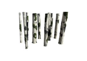 Birch wood with moss