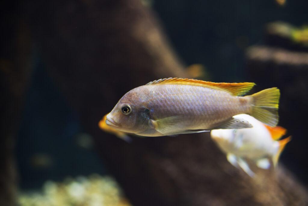 Create a natural habitat for Malawi Cichlids in your aquarium.