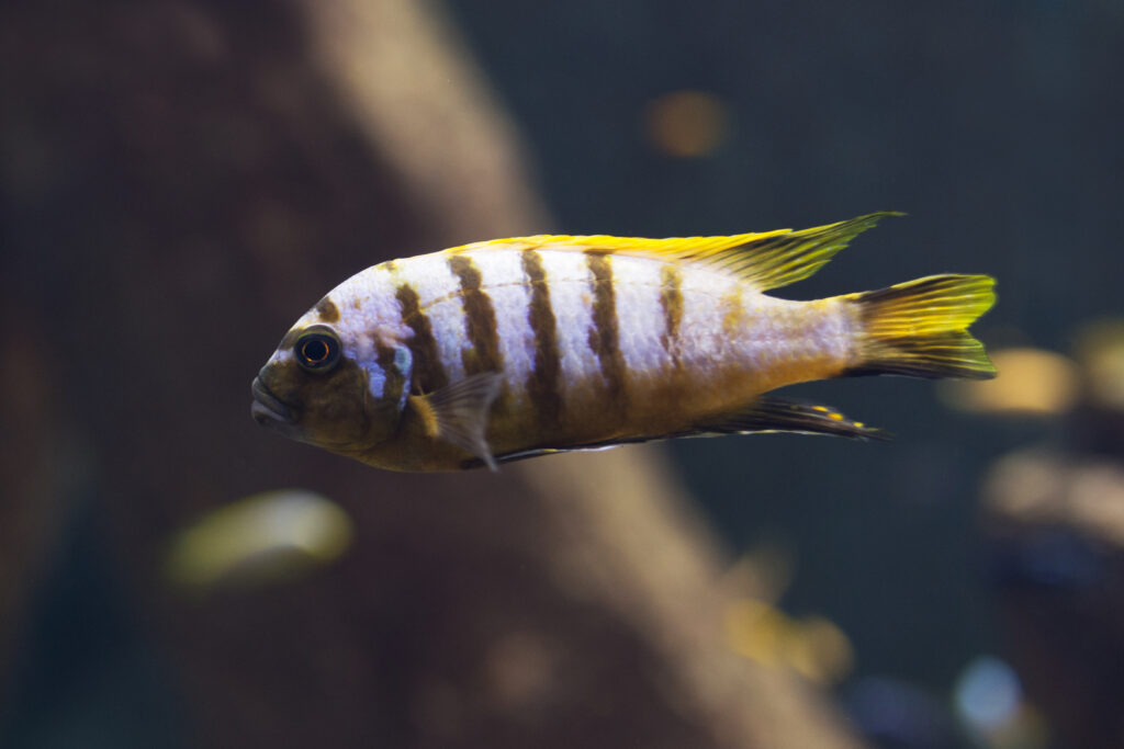 Create a natural habitat for Malawi Cichlids in your aquarium at home.